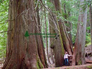 Ancient Grove of Cedars near Whistler, British Columbia, Canada